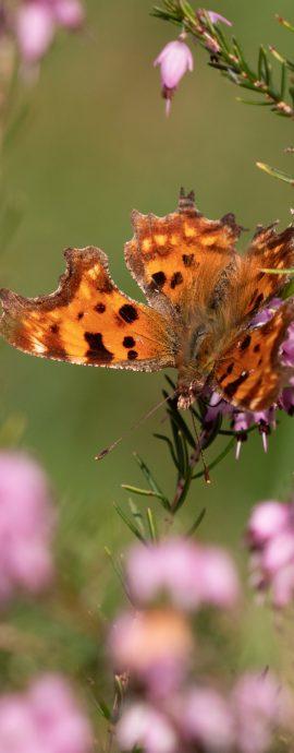 Lepidoptera – Butterflies and moths