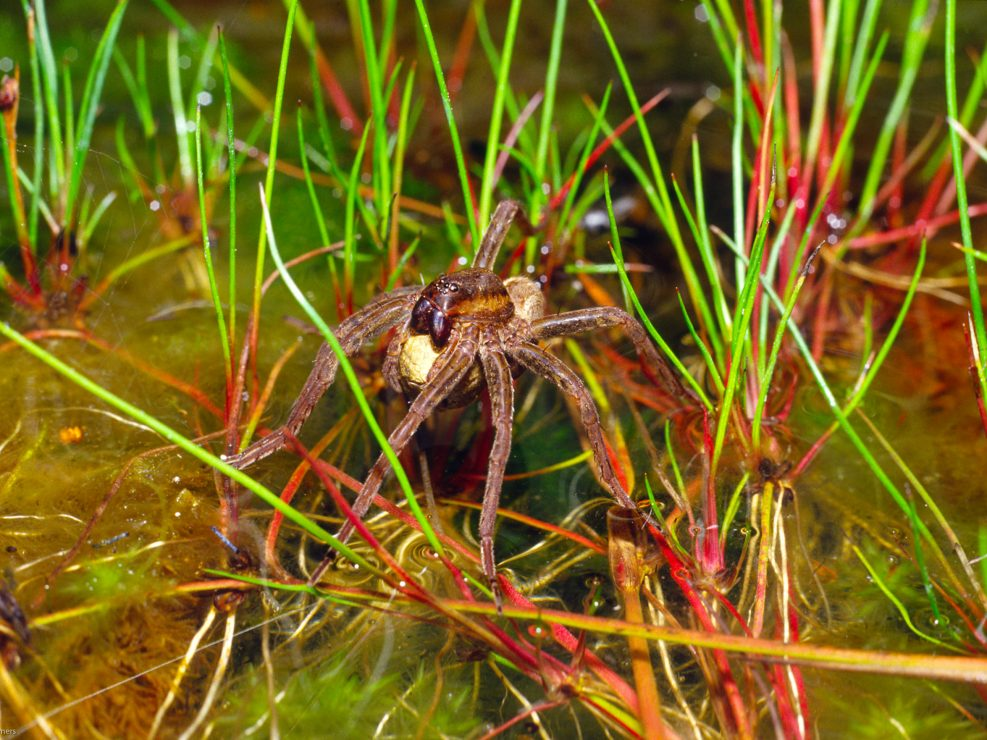 Dolomedes fimbriatus warming an egg sac in the sun Chobham Common,Surrey