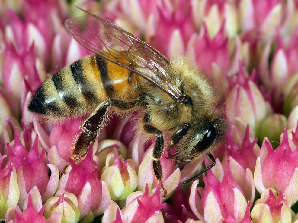 Honey Bee feeding on nectar