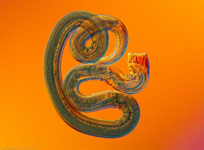 Nippostrongylus brasiliensis