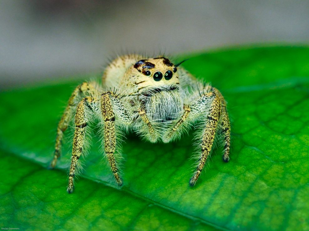 World's largest Jumping Spider