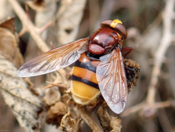 Hornet mimic Hover Fly