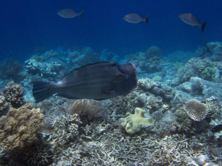Humphead Parrotfish - Bolbometopon muricatum.