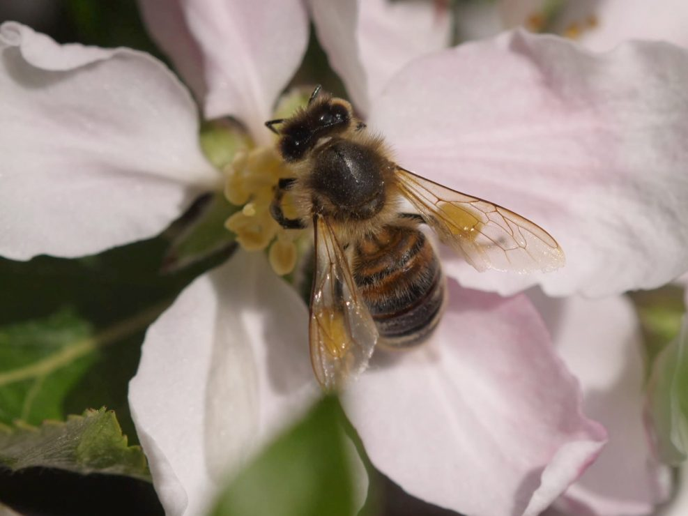 Honeybee feeding on Apple blossom nectar and pollen, the pollen baskets are visible