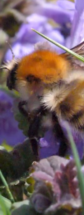 Compilation of Bumblebees nectar feeding on flowers of Ground Ivy – Hedera sp.