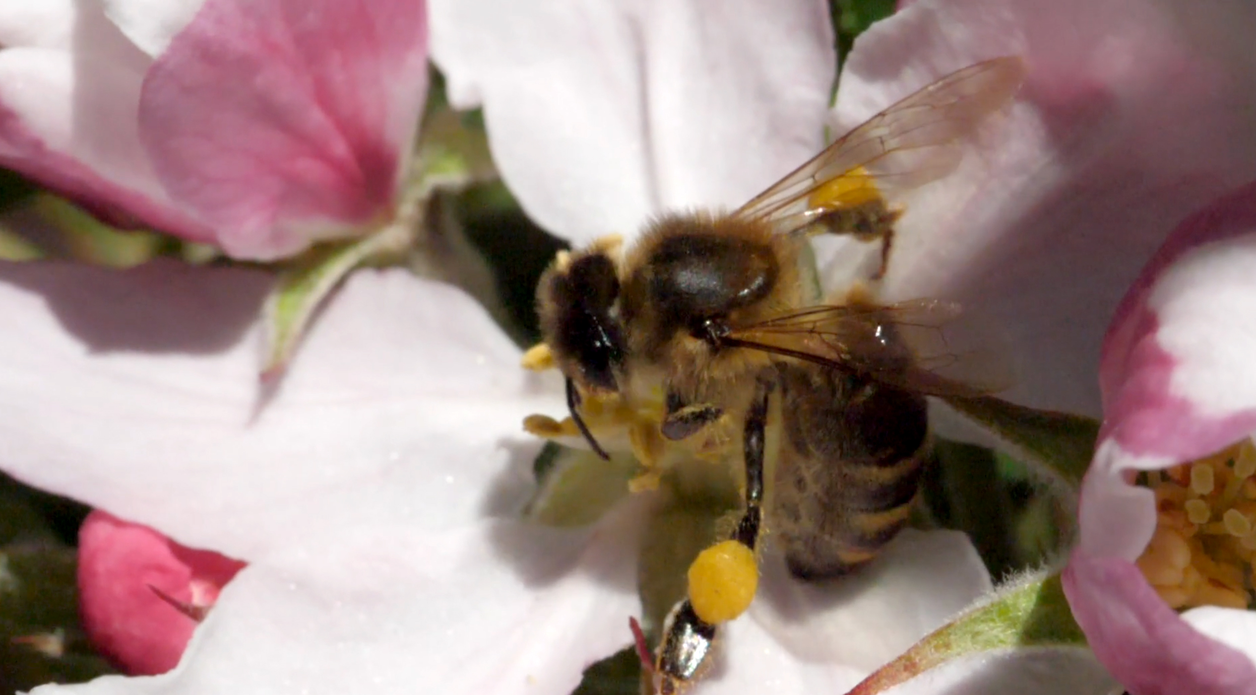 Honeybee feeding on nectar and pollen, the pollen baskets are visible