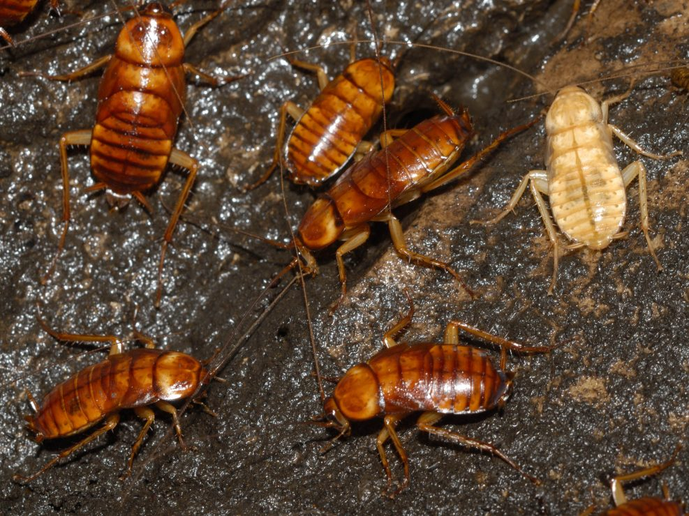 Dictyoptera – Cockroaches, termites and mantids