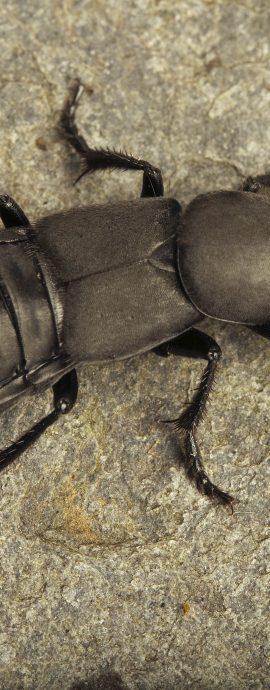 Coleoptera – Beetles