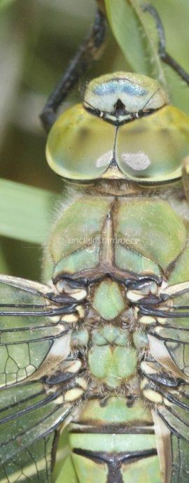 Odonata – Dragonflies and Damselflies