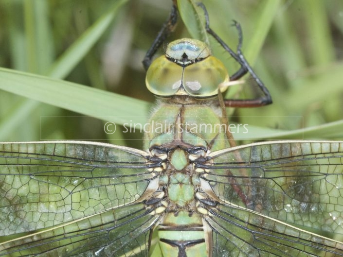 Odonata – Dragonflies and Damselflies