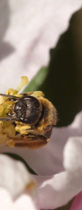 Andrena bee feeding on Apple blossom pollen at Cilgwyn Mill, west Wales