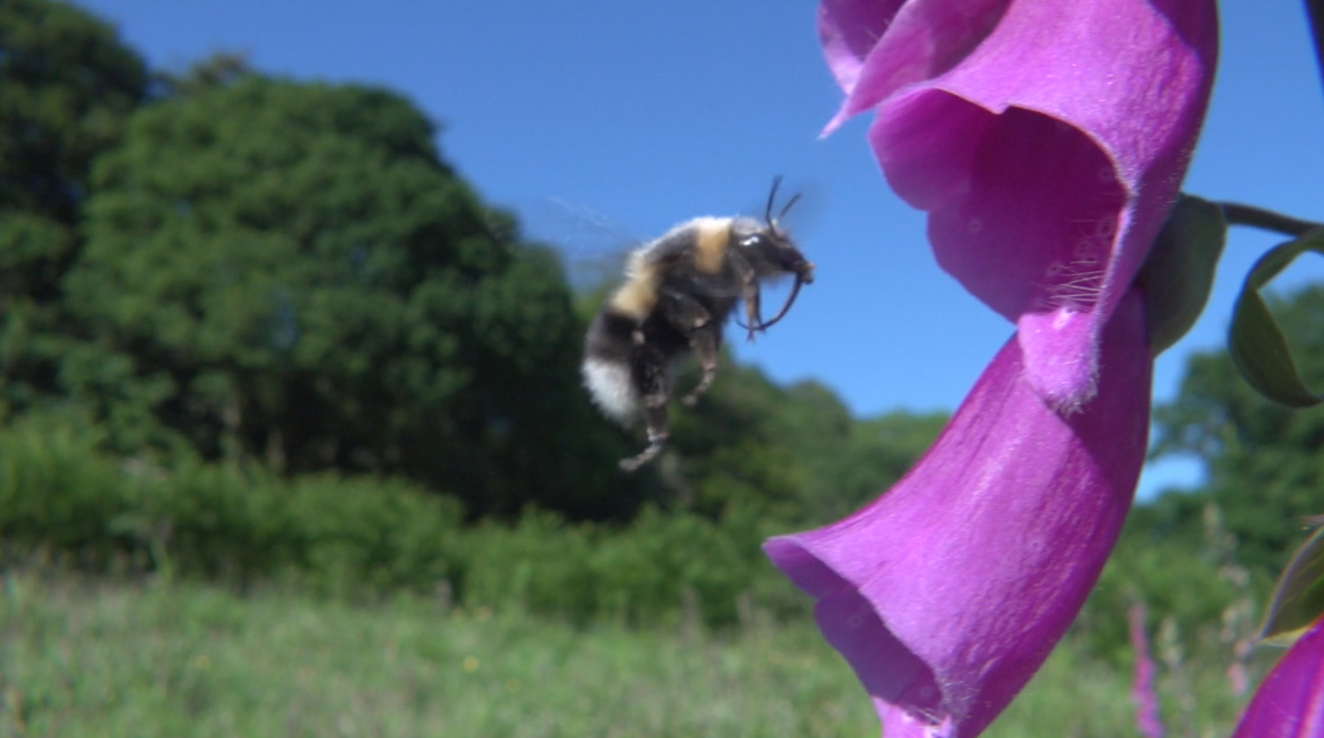 Bumblebee nectar feeding with its long tongue on Foxglove, it falls out of the flower covered in pollen