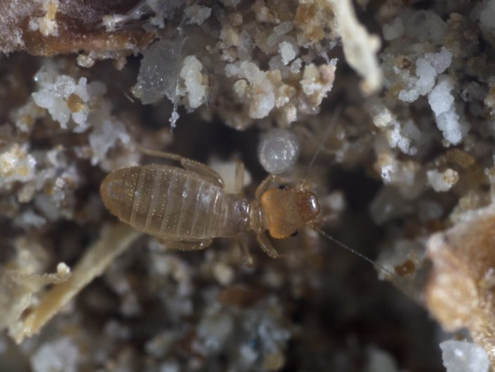 Booklouse - Psocoptera