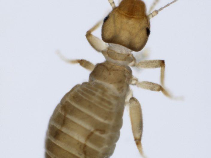 Psocopteran