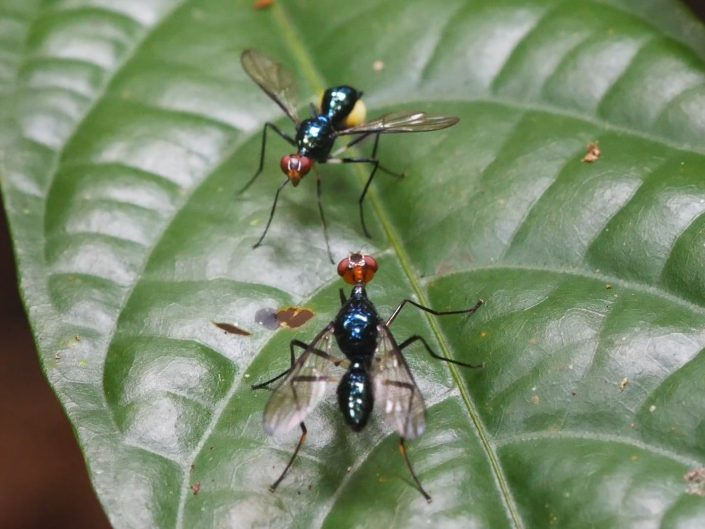 Micropezidae – Stalk Legged flies on Halmahera