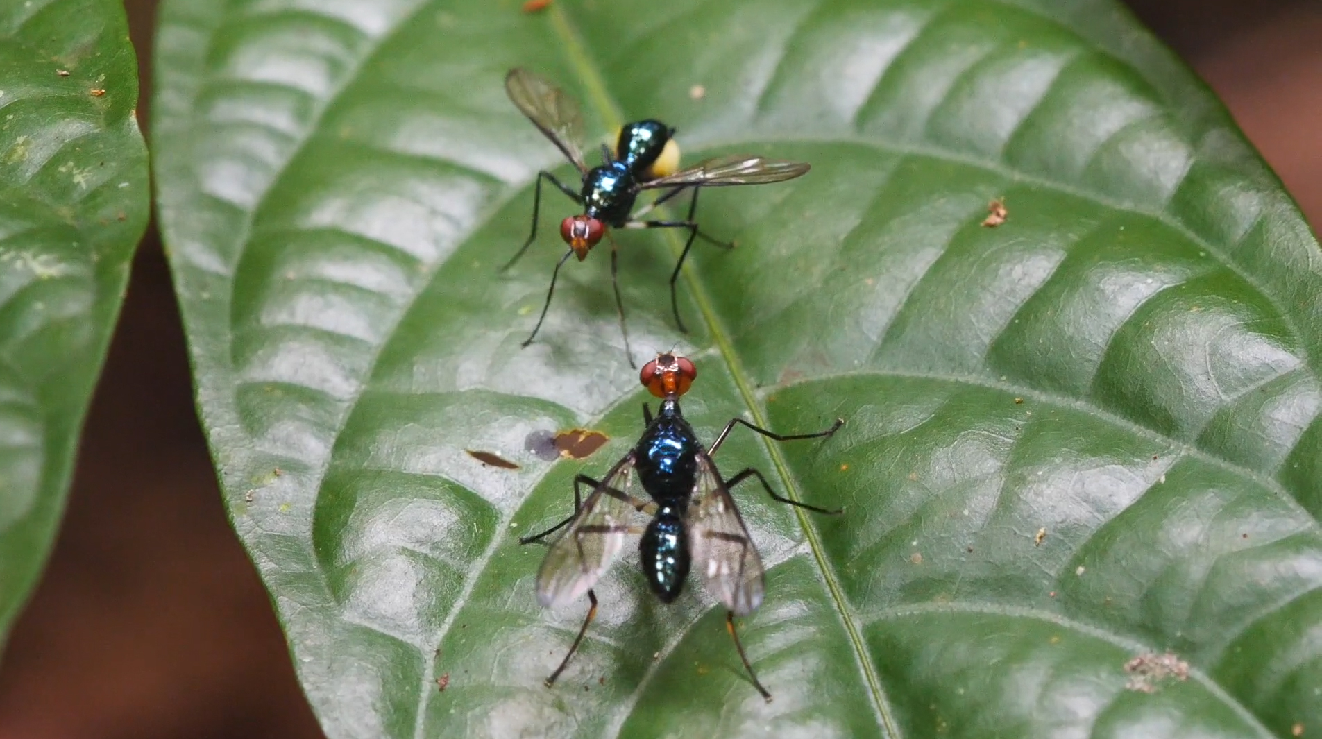 Micropezidae – Stalk Legged flies on Halmahera