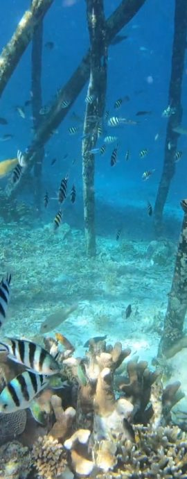 Giant Trevally chasing shoals of fish