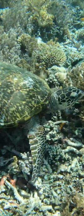 Hawksbill Turtle at Kri island, Raja Ampat, Indonesia