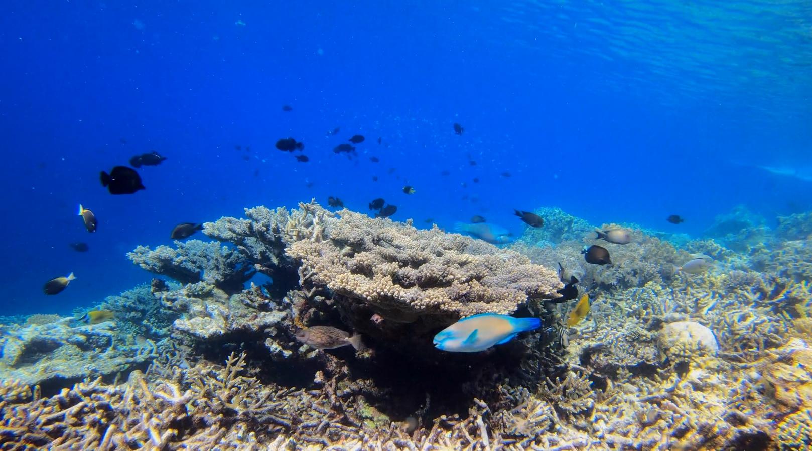 Parrot Fish at Raja Ampat