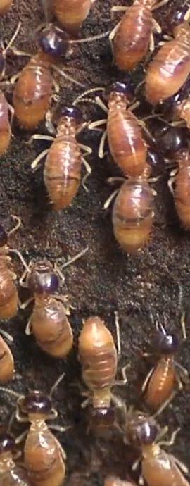 Termites Tiputini