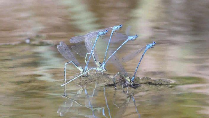 Azure Damsel fly