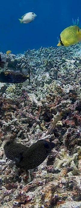 Spotted Boxfish – Ostracion meleagris