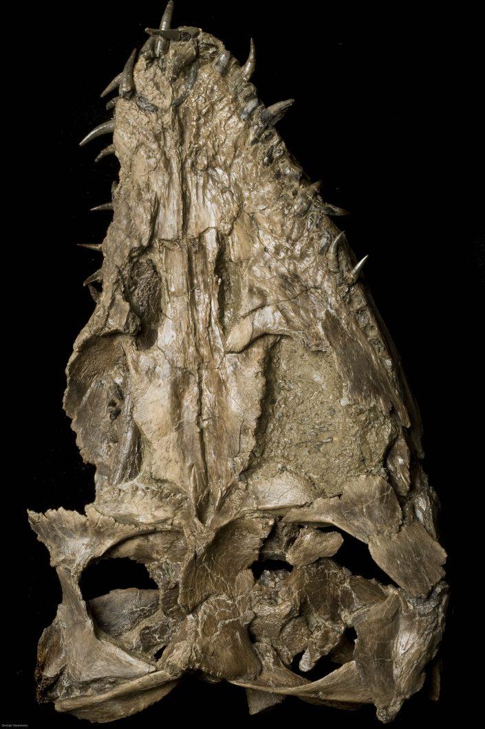 Plesiosaur skull -Cryptoclidus eurymerus