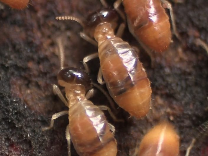 Termites feeding on the surface of a decaying log, Tipupitini Biodiversity Station, Ecuador