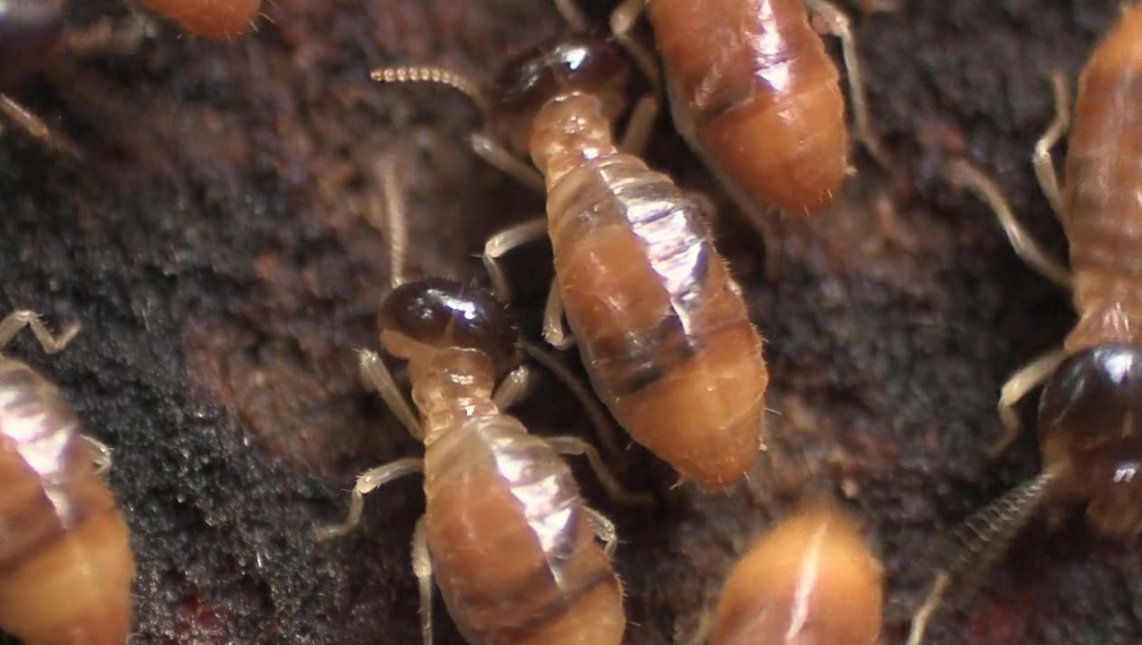 Termites feeding on the surface of a decaying log, Tipupitini Biodiversity Station, Ecuador