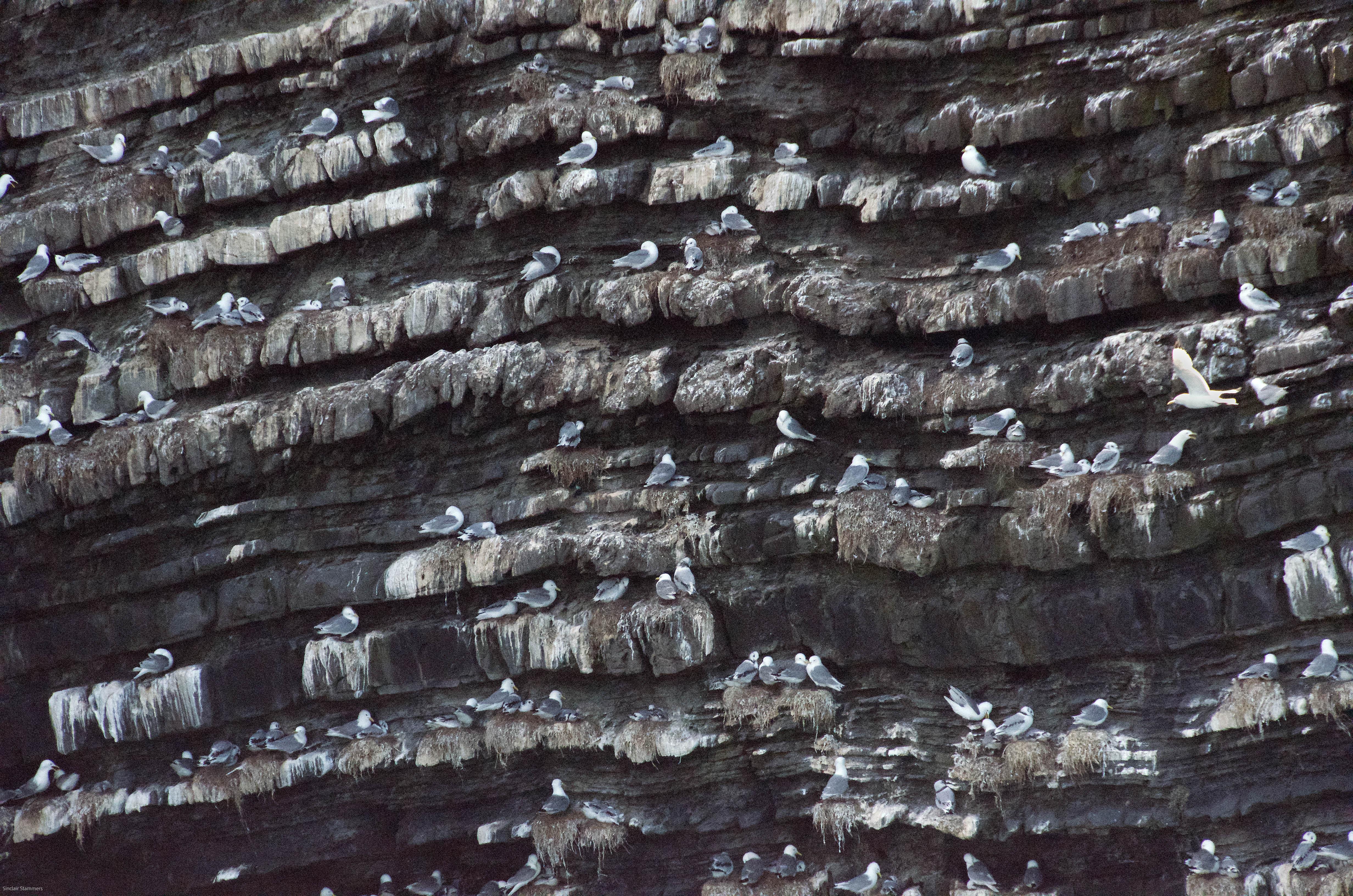 Kittiwake nesting site at Newport, Ceredigion