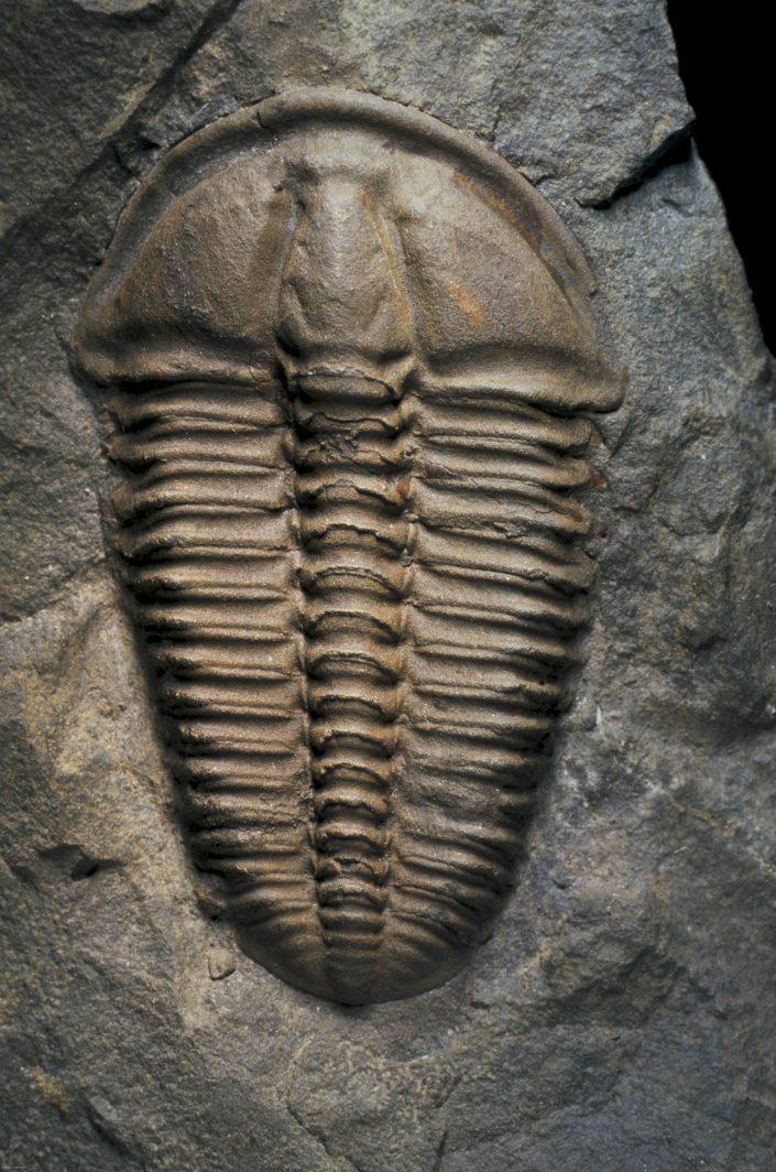 Conocoryphe sulzeri sulzeri Schlotheim 1823