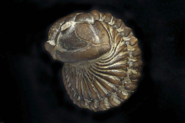 Calymene blumenbachi Desmarest 1817
