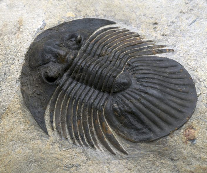 Platyscutellum formosum formosum (Barrande 1846)