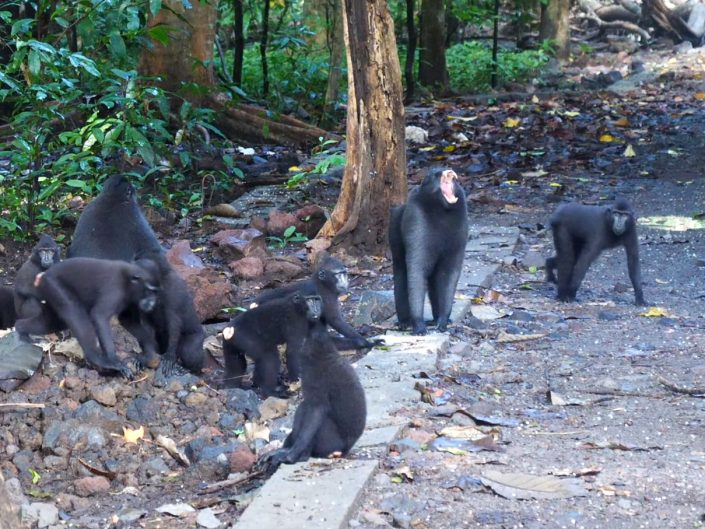 Celebes crested macaque – Macaca nigra