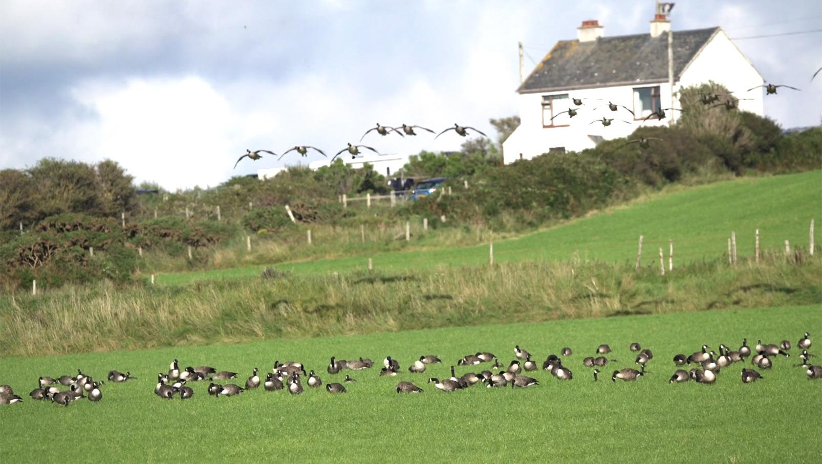 Geese at Gwbert