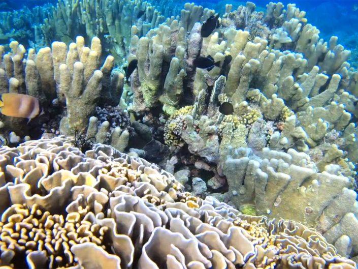Heliopora coerulea – blue coral in the Banda islands