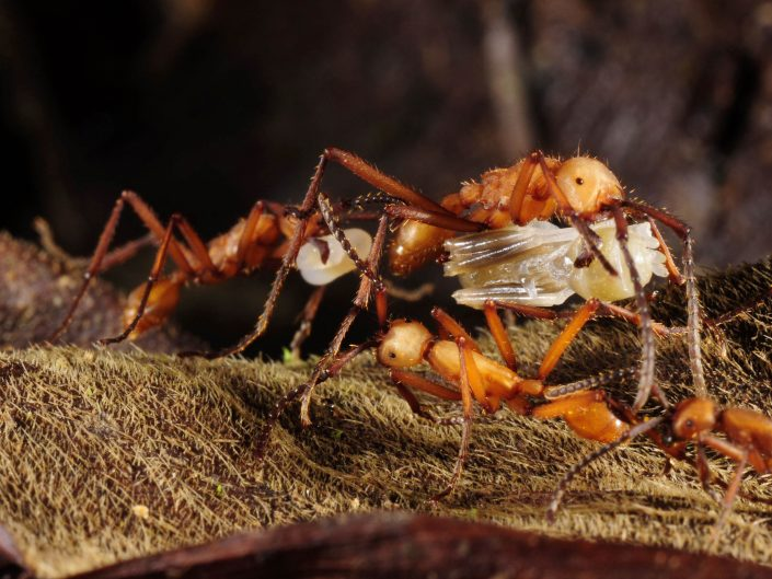 Army Ants carrying pupae