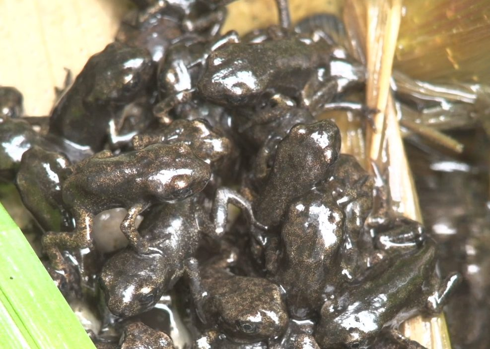 Young toads preparing to leave a pond, which they share with a myriad of other organisms such as the ubiquitous pond louse